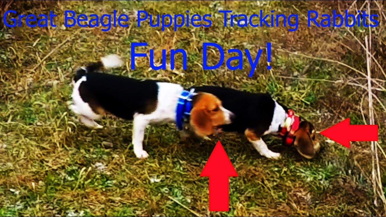 Great Beagle Puppies Tracking Rabbits Youtube
