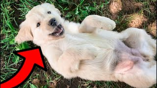 Golden Retriever Puppies Get Belly Rubs!!