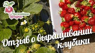 Отзыв о выращивании клубики #urozhainye_gryadki(Я выращиваю землянику сорт Фестивальная. На одном участке она у меня растет с 93 года, и каждый год дает по..., 2016-11-29T12:00:02.000Z)