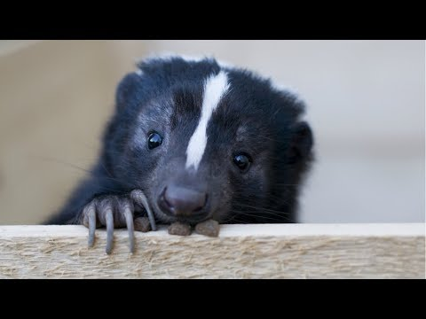 Skunk - A Cute Skunk And Funny Skunks Videos Compilation || NEW HD