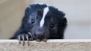 Skunk - A Cute Skunk And Funny Skunks Videos Compilation    NEW HD