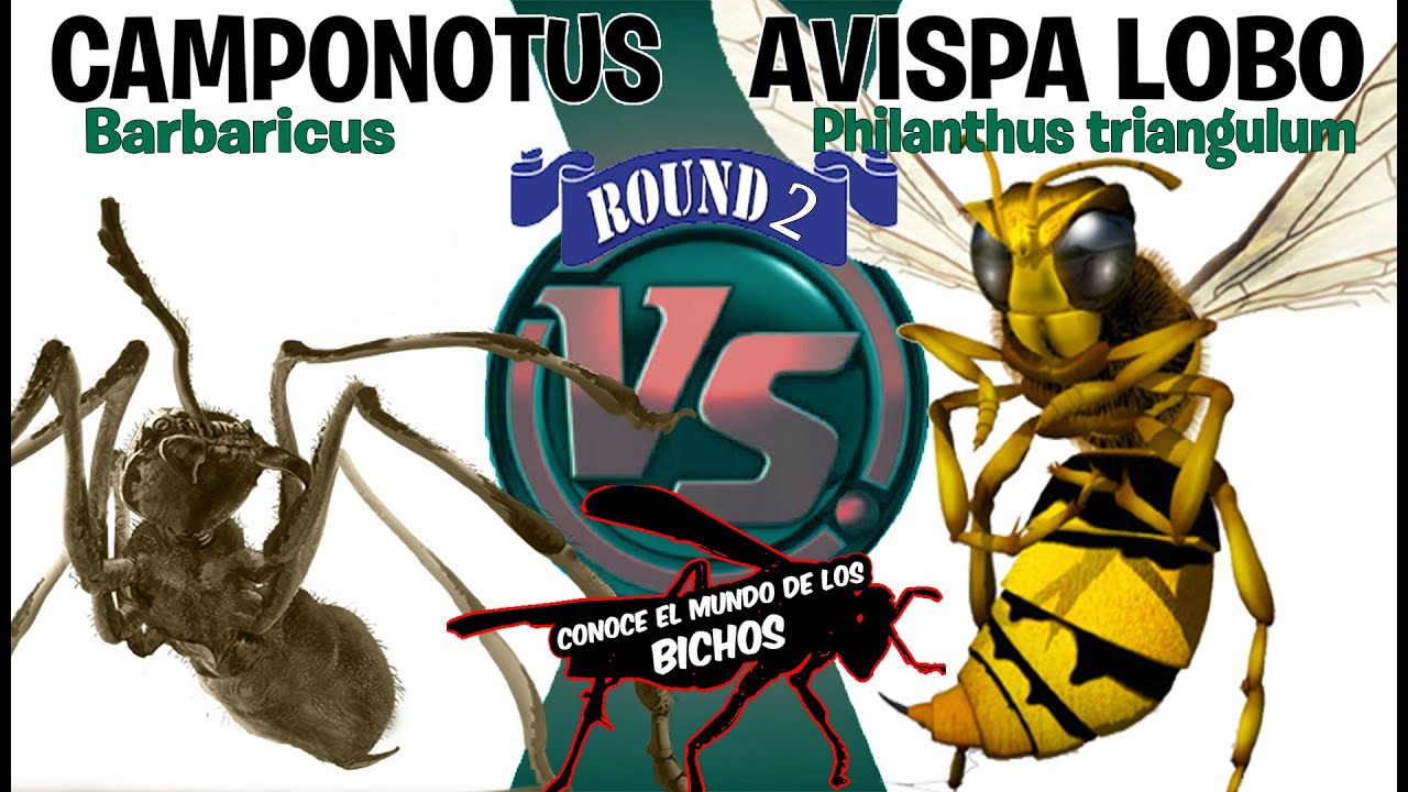 LOBO DE ABEJAS VS HORMIGA CAMPONOTUS - ROUND 2 | UNO CONTRA UNO