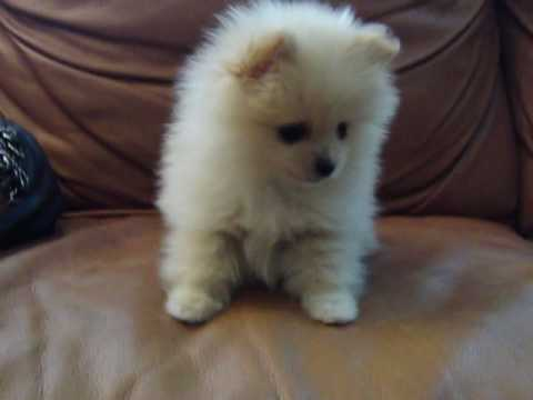 "MICRO TEACUP POMERANIAN FOR SALE ""GUCCI"" - YouTube"