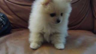 "Micro Teacup Pomeranian For Sale ""gucci"""