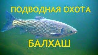 Подводная охота на Балхаше АМУР и другие База Дельта