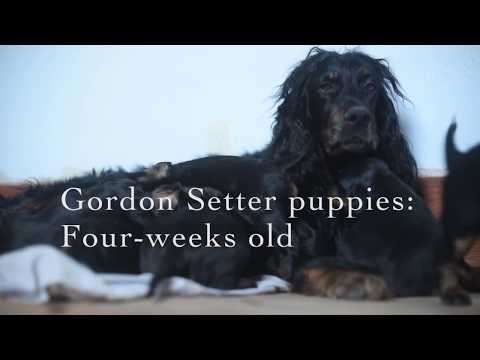 Gordon Setter puppies: Four-weeks old
