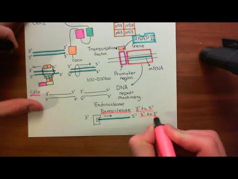 Homologous Recombination for Double Strand Breaks Part 4