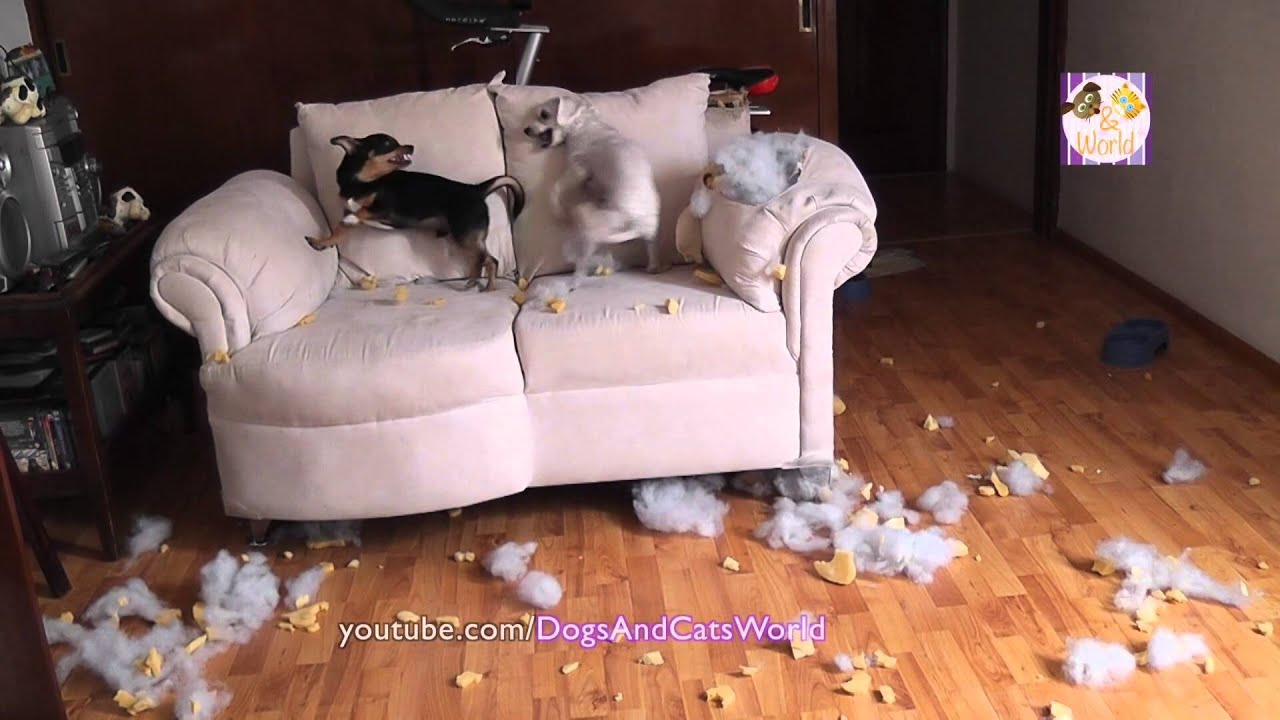OMG My Rescued Dogs Fighting And Chewing Up The Couch! Dogs Funny