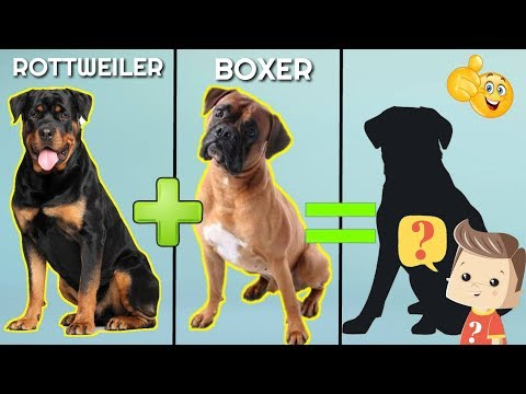 10 Incredible Mixed Cross Hybrid of Rottweiler / unreal cross breed of Rottweiler