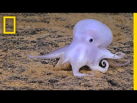 Ghostlike Octopus Found Lurking Deep Below the Sea | National Geographic