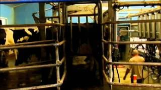 La Traite des Vaches Prim'Holstein en Salle de Traite