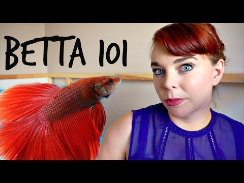 BETTA 101   How To Care For A Betta