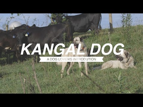 KANGAL: A DOG LOVER'S INTRODUCTION