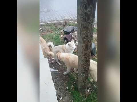 kangallar-fena-kapıştı-|-anadolu-Çoban-köpekleri-|