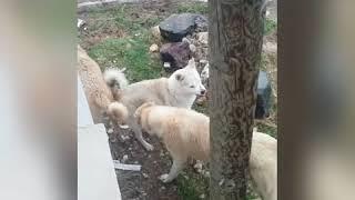 Kangallar Fena kapıştı   Anadolu Çoban Köpekleri  