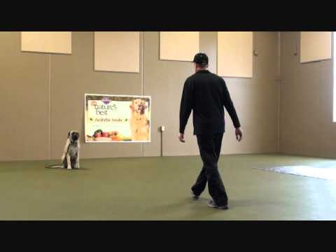 mack-(english-mastiff)-boot-camp-dog-training-video