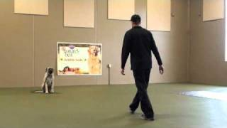 Mack (english Mastiff) Boot Camp Dog Training Video