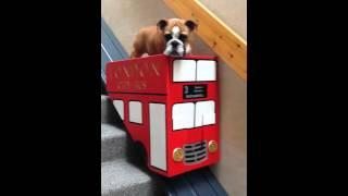 「これ僕専用~☆」エスカレーターに乗るブルドッグがカワイすぎる!