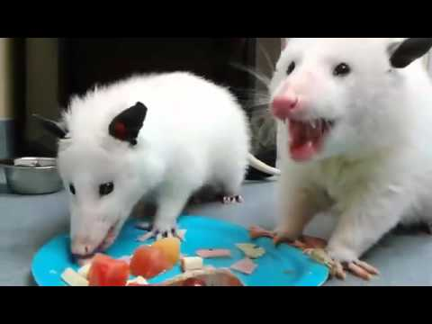This is Keebler and Aspen.  They are very rare leucistic opossums