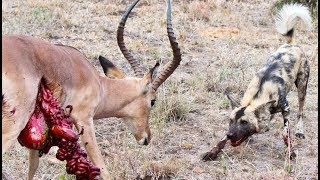 Wild Dogs v Impala | Impala Fights Back as Guts Fall Out