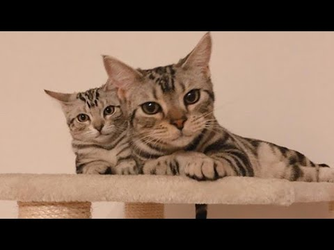 Lovely American Shorthair Cat Sisters