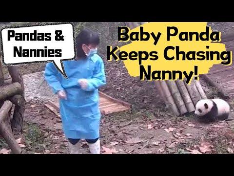 Adorable Baby Panda Keeps Chasing Until Nanny Kisses And Hugs Her | IPanda