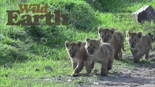 Lion Cubs Discover World