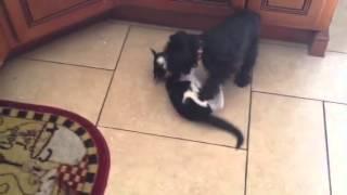 Schnauzer And Kitten Wrestle