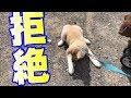 秋田犬の子犬の「お散歩デビュー」が思わず応援したくなる…!