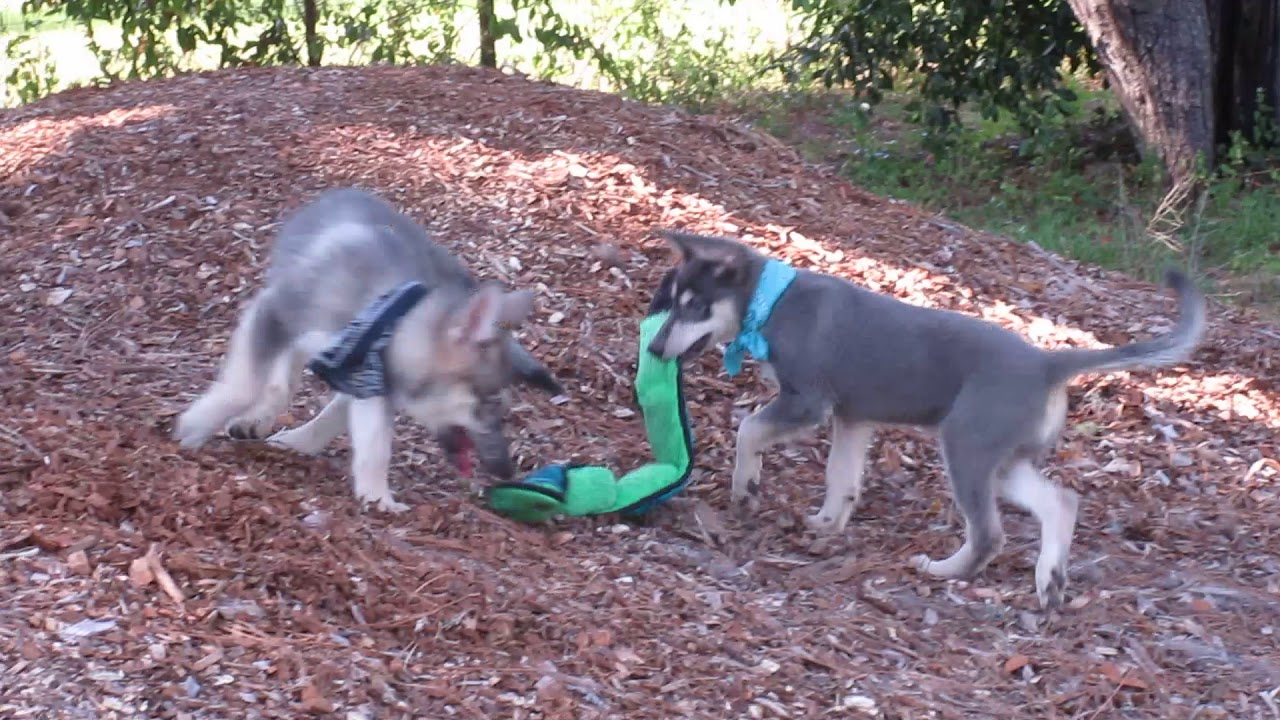 Wolfdog puppies for sale in Florida   www wolfdogpuppylove com