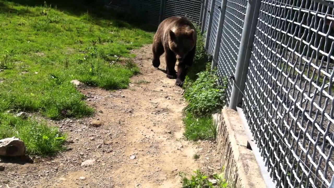 Björnen I Lycksele Djurpark 2011 Youtube