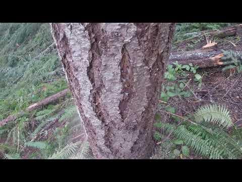 K Tree M Timber Falling 3-14-18