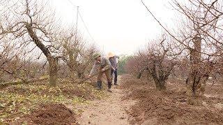 Tin Tức 24h: Nông dân trồng đào thấp thỏm mong chờ thời tiết