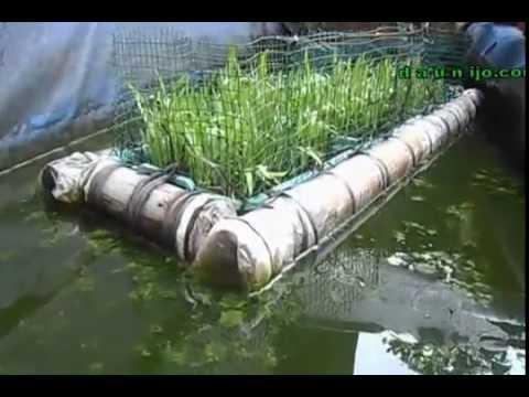 Menanam sayur kangkung akuaponik rakit apung batang bambu