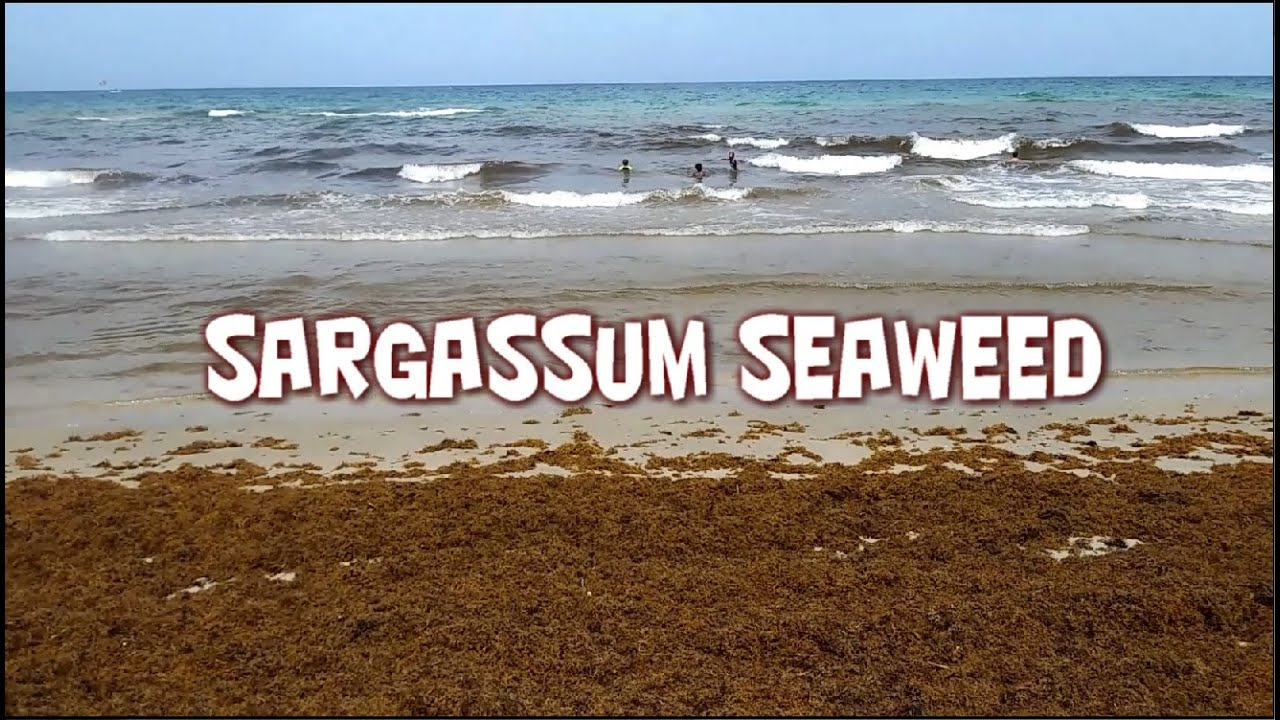 Sargassum Seaweed on the Southeast Florida Coast, Hollywood, Miami Beach