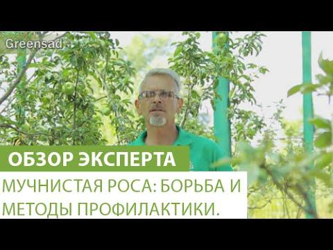 Мучнистая роса: борьба и методы профилактики.