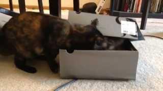 Две кошки играют  Одна кошка прячется от другой в коробке