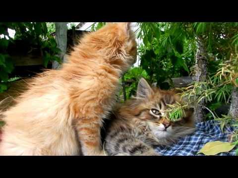 http://alllebedev.ya.ru/#y5__id41 Котята Тёма Солнышко и Аэлита Kittens 子猫 КошляндиЯ Koshlyandiya...