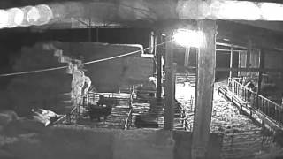 CCTV shows gang breaking into a farm and rugby tackling a heavily pregnant ewe