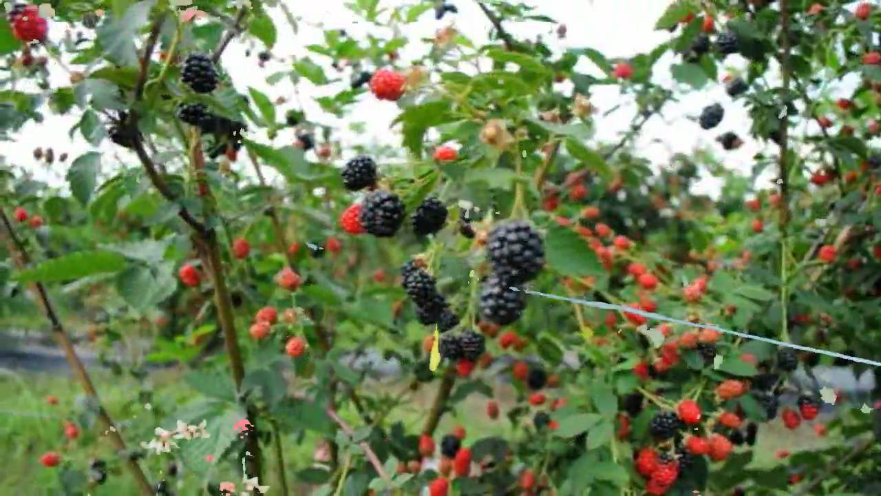 Black Trellis Wallpaper Blackberry Plants Youtube