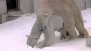 Repeat youtube video Polar Bears mating