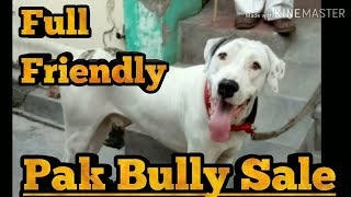 PAKISTANI BULLY KUTTA ADULT DOG FOR SALE ||