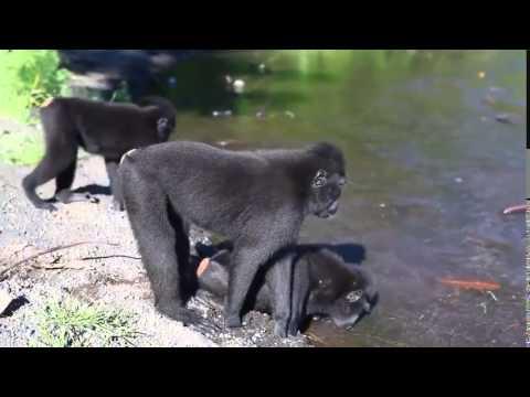 Как спариваются обезьяны видео смотреть бесплатно