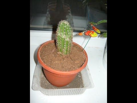 Как посадить обломленный кактус в горшок