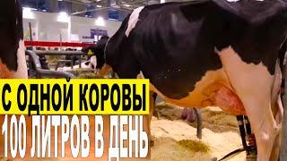 100 литров в день с одной коровы. Доение коровы 30 литров за одну дойку -  Италия Верона