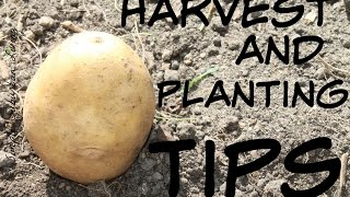 Potato Harvest and Planting Tips