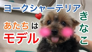 トリミングサロンの老犬のモデル犬 ヨークシャーテリアのきなこちゃん♀ ...