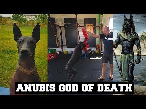 My Pet is Anubis The God of Death | Xoloitzcuintli