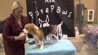 Beagle Show Grooming Ari 2013 Pure Paws American Embassador