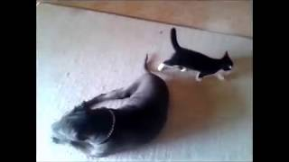Duke and Fluffy -  Kitten Attacks Dog Part 2